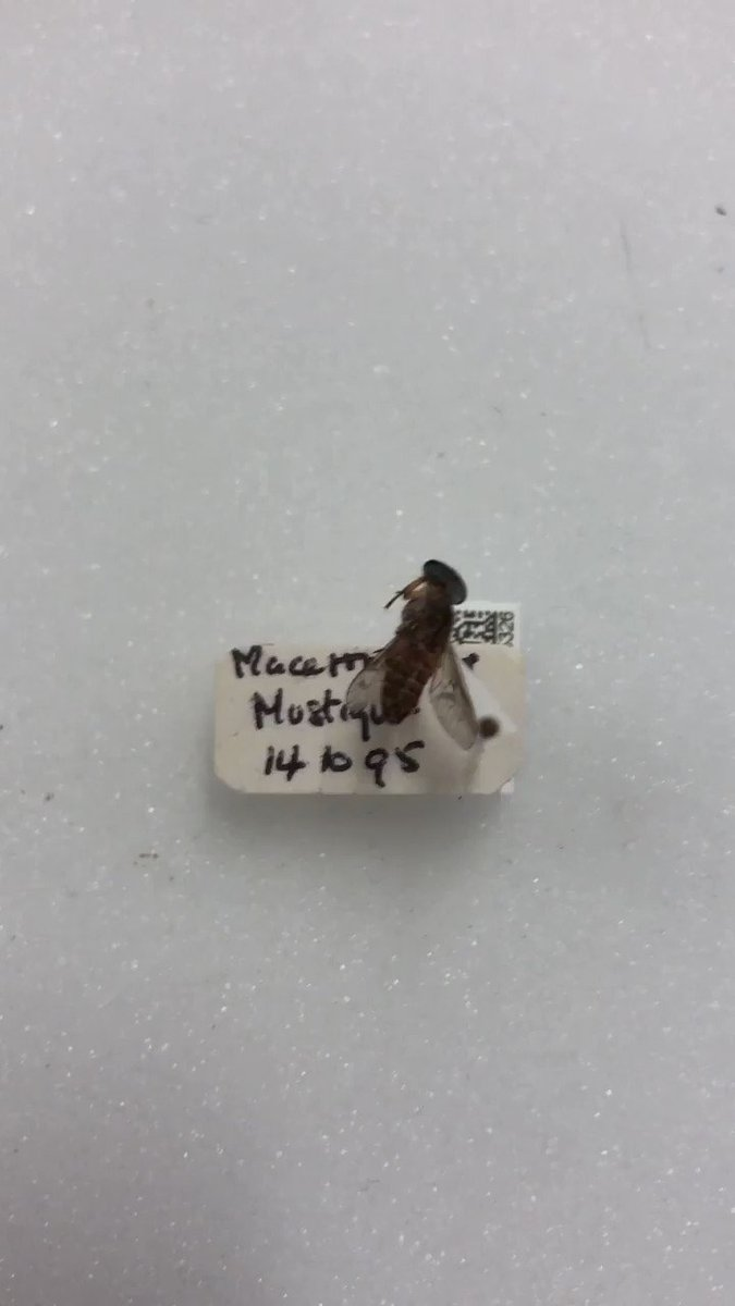 I think someone must having been play smack-a-mole game when collecting these horseflies #MuseumWeek #PlayMW #yearofthefly #WednesdayMotivation #wednesdaythoughts @NHM_London @NHM_Diptera