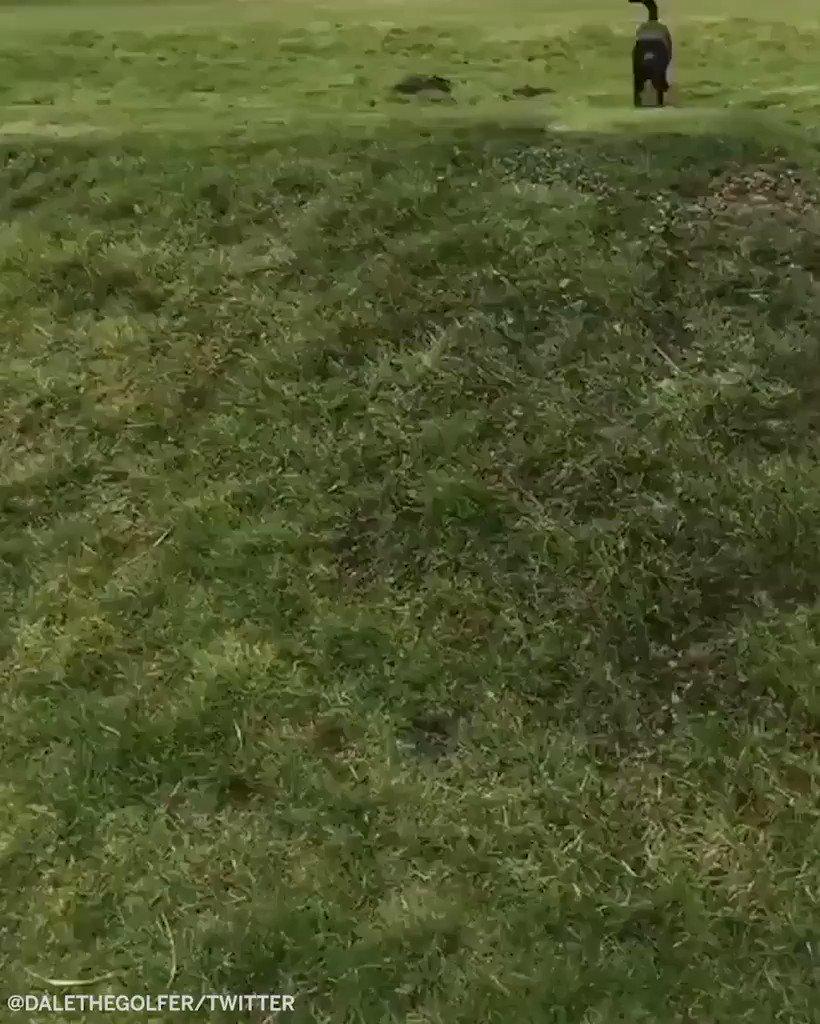Very good boy and top-notch golfer 👏🐶 (via @dalethegolfer)