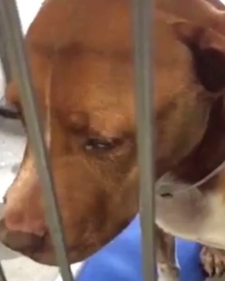 HEART💔 BROKEN  Daisy yearns for attention in her kennel. She was surrendered with a large mass  #DowneyShelter opt mass removal and Daisy is recovering well  we need to get her out ASAP  ID #A5272180 ☎️562- 940-6898  Daisy update 🔛 #instagram #LAadopt  https://instagram.com/p/BxjTeg9lgFp/