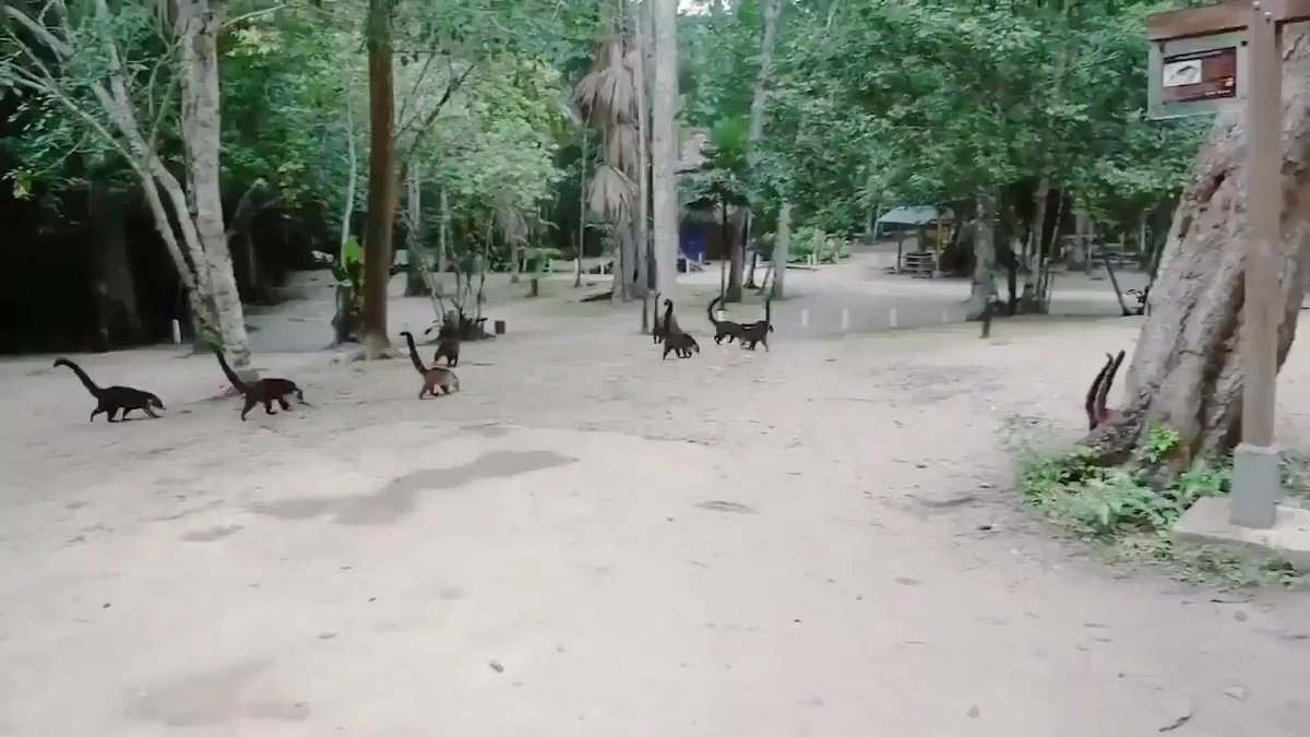 So, if you put a video with coati, or coatimundi, in reverse, you are in Jurassic Park. Who made this?!?! 🦕
