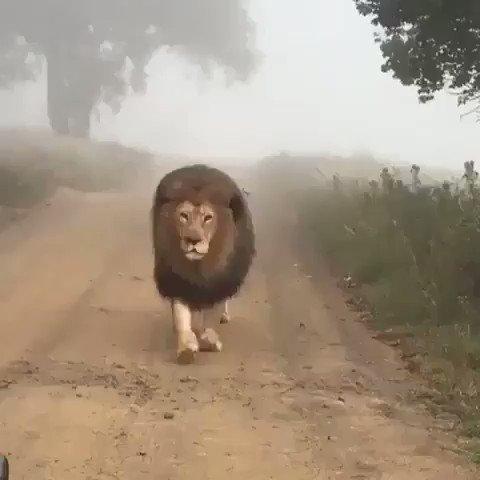 RT @EarthDiscovers: King of the Jungle🦁👑 https://t.co/YJFSp69eGd