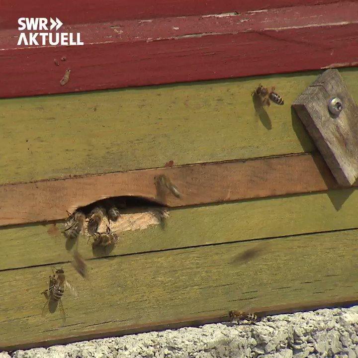 SWR Aktuell BW's photo on #Bienen