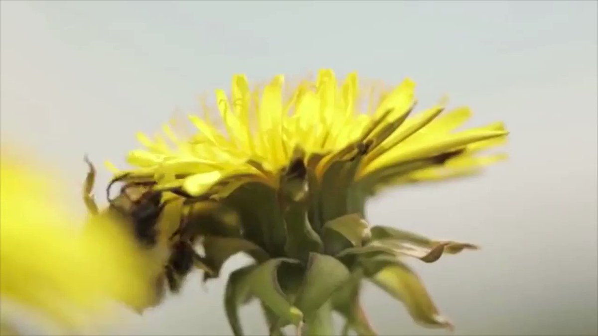 DYK? One third of all our food depends on the pollination from bees. 🐝🐝🐝 RT this video if you ❤️ bees and celebrate #WorldBeeDay!