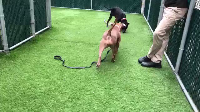 THEY WILL KILL CHARLOTTE THURSDAY BECAUSE SHE DIDN'T LEARN QUICKLY ENOUGH. Friendly, likes people, and yet she has bitten. A Rescue attracted by our pledges via @chortletown are Charlotte's only hope. Her ID (she's the tan dog) is #57023 PLEASE RT HER https://www.facebook.com/mldsavingnycdogs/photos/to-be-killed-52119i-have-been-returned-050719poor-charlotte-is-back-in-the-shelt/945012752351662/ …