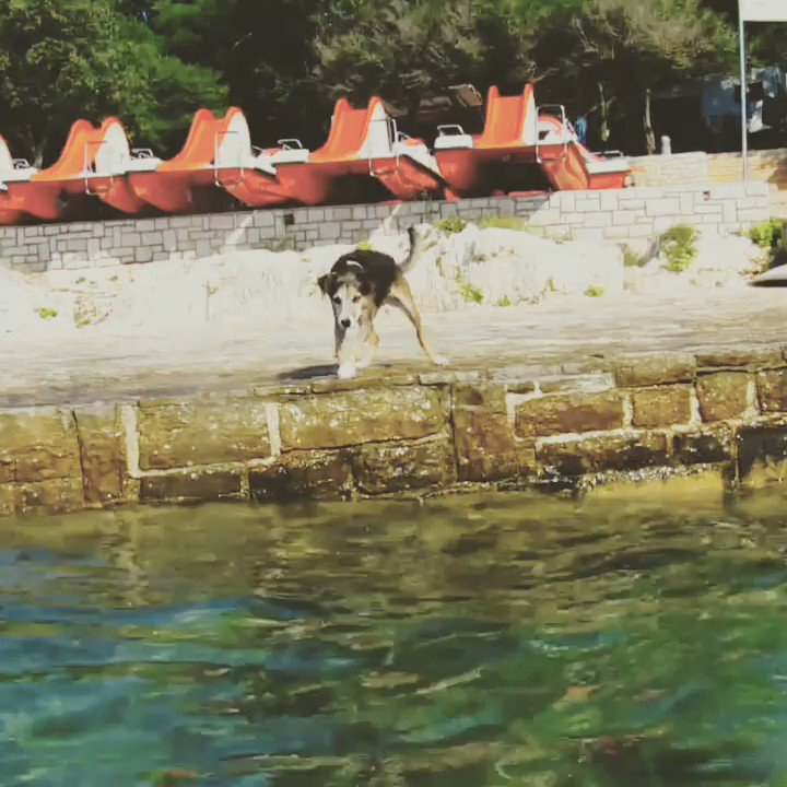 """""""It's an an oldie but Dad loves this one of me"""" . @dogcelebration #dogs #DogsOfTwitter @walthollick @BERTIE_LAKELAND @RuthJeffery9 @olive_blacklab #swimming"""