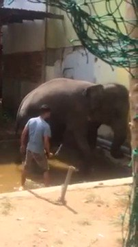 .@rickygervais Wanton brutality on a helpless elephant..why.. to crush all resistance for ready use in tourism..it's life now reduced to a tick on a holiday makers bucket list, the swaying showing deep mental damage & despair. Tell @ABTAtravel @TUIUK  to ban brutal ads now