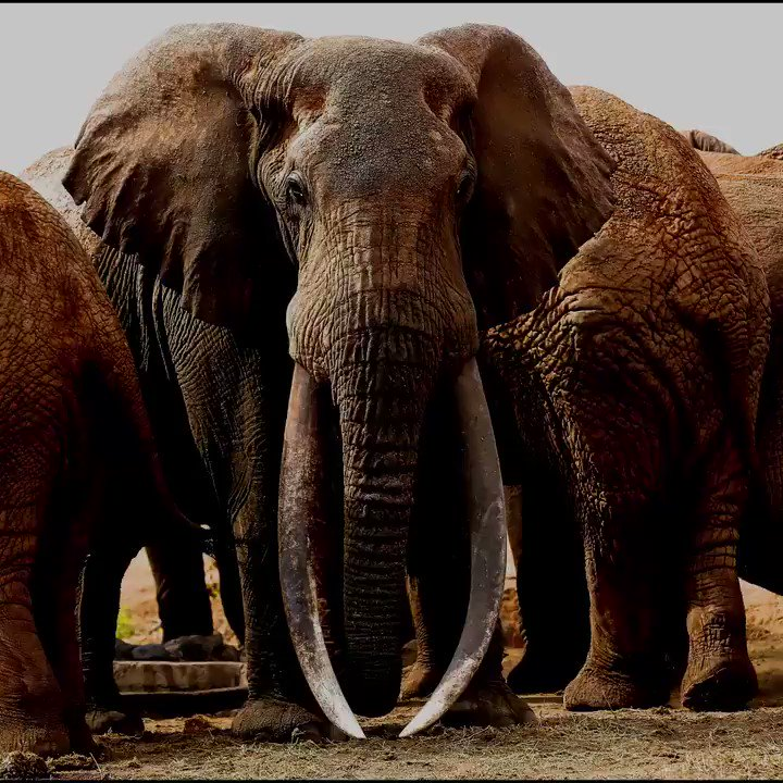 Elephants are wonderful creatures, arguably the most gentle.  What are some of the interesting facts you know about Jumbos?  Here are 5 that you need to know