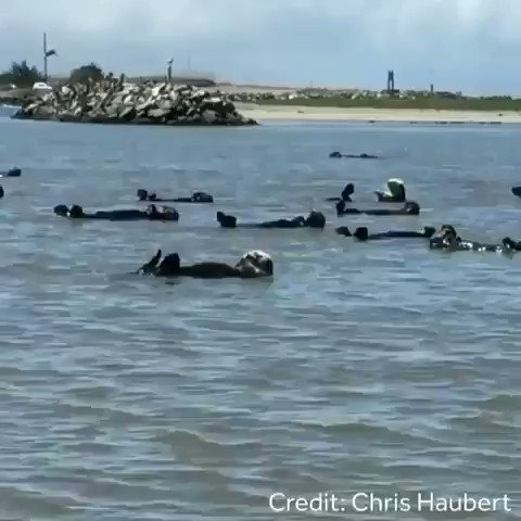 A Raft of otters swimming off the coast of California