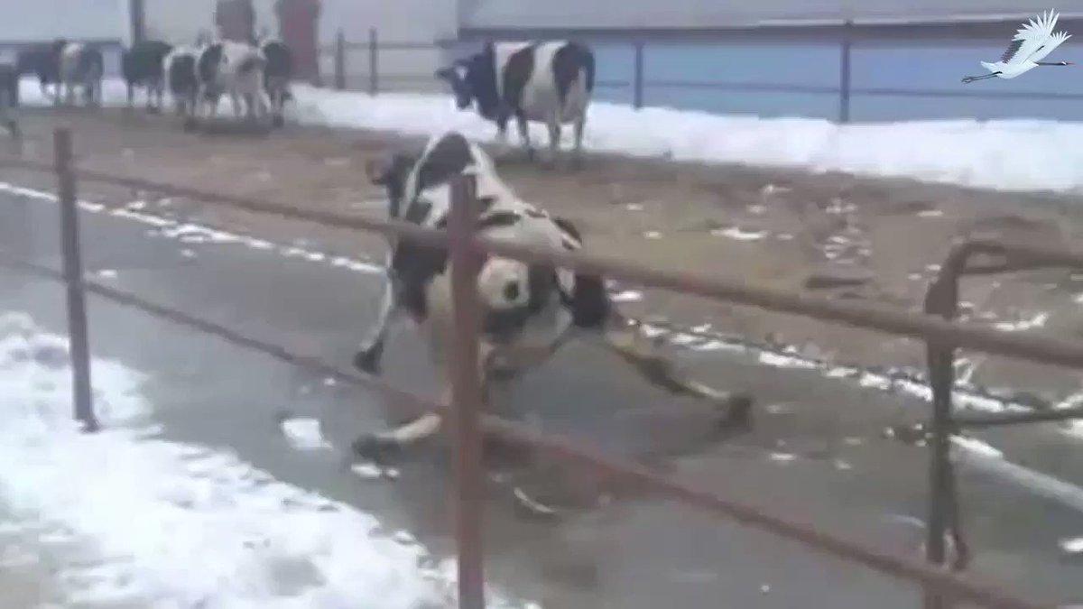 камень корова на льду фото своей
