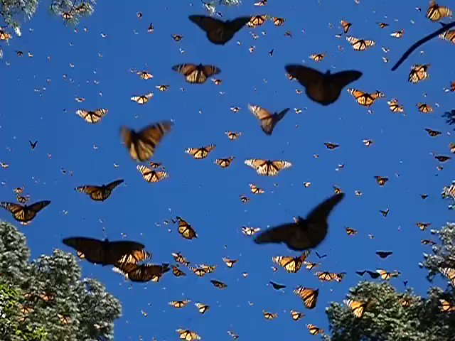 A group of butterflies is called a  kaleidoscope.