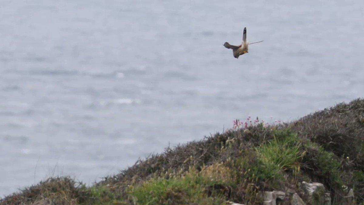 Just look at that head stabilisation! Male kestrel hunting at South Stack, Anglesey yesterday.