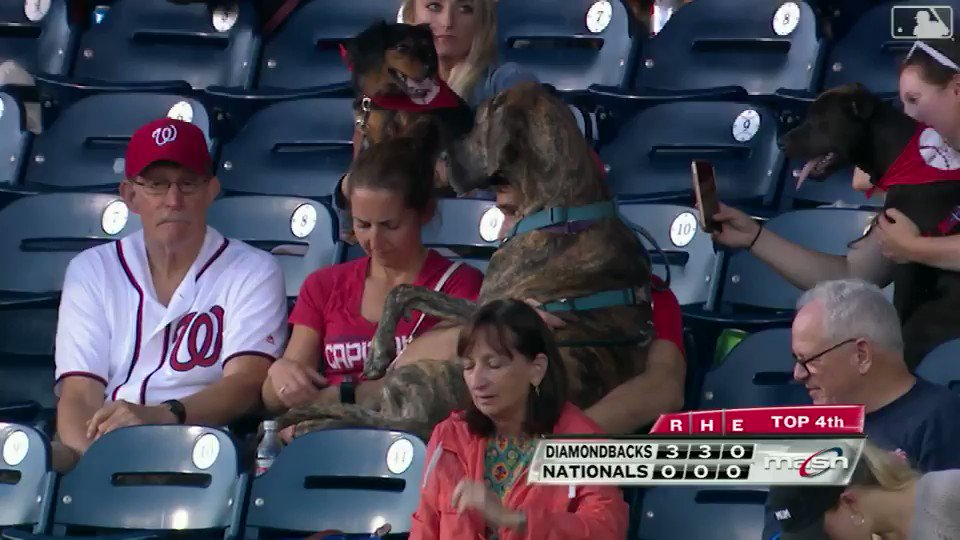 You try telling this enormous good boy that he's not a baseball lap dog