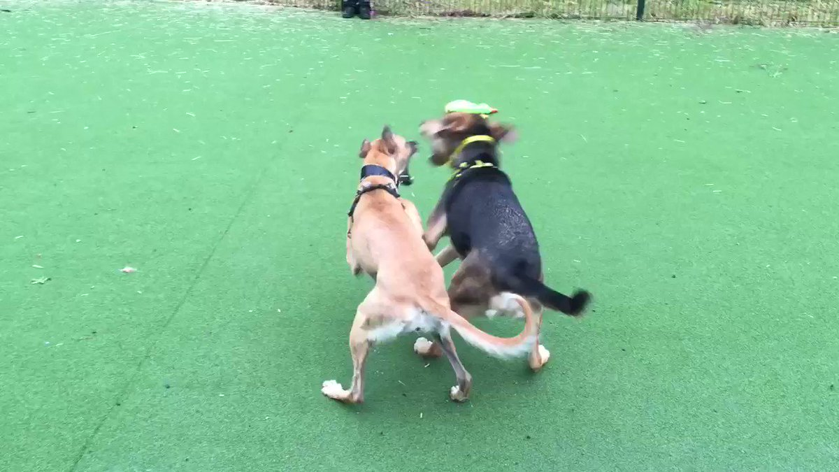 The rain was pouring down but it didn't stop Bolt & Lulu from having a good time ☔️😆 so if you're looking for an active companion then one of these playful pups may be prefect for you #dogstrust