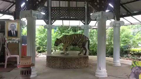 Enchaîné 22 heures par jour par une chaîne d'à peine un mètre. Répéter inlassablement les mêmes mouvements, tourner en rond encore et encore... Voilà la triste de vie de ce #tigre dans le zoo de Phuket en Thaîlande ! #StopCaptivity