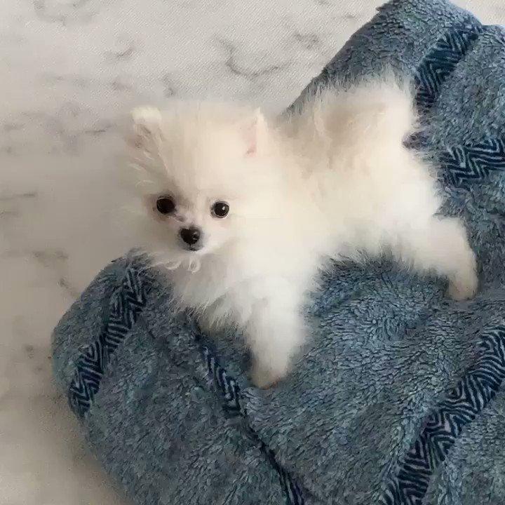 RT @puppygamza: 감자 한 달 전만 해도 배냇털 부숭부숭 아기갱얼지라 저 낮은 이불 위에서 내려오지도 못 했는데... 이젠 롱다리 까까머리 형아강아지 https://t.co/5YZ31nIWyc