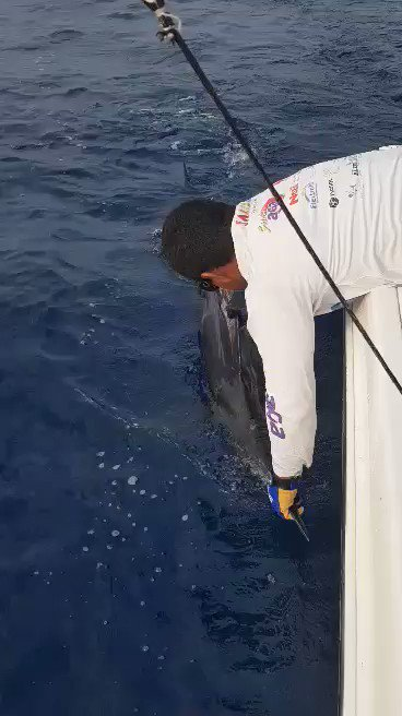 Barra de Navidad, MX - Guen Chiqueao Sportfishing released a Blue Marlin. #BillfishADay