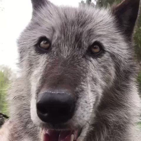 The best days begin with wolves. 🐺 #FridayThoughts https://t.co/tthXtB8cpw