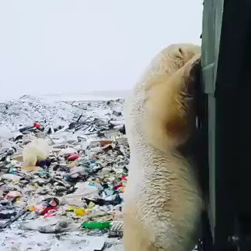 Not a single corner of the earth is untouched by human filth and scum.  Polar bears are begging for human waste because their natural space and food are disappearing because of climate change.  THIS IS DEVASTATING   Retweet 💔