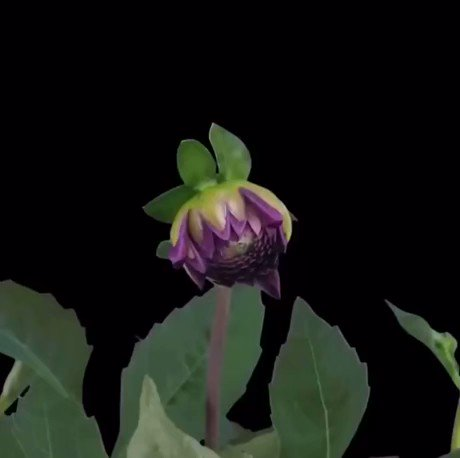 Dahlia coming into flower in a time lapse video.