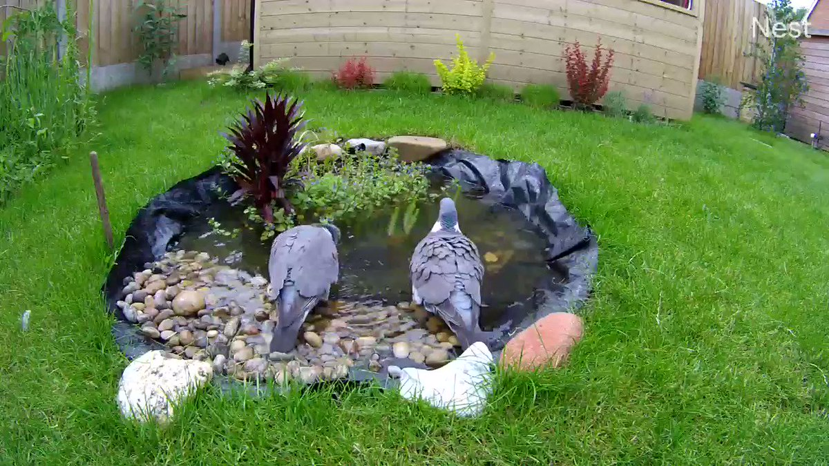 The BFPs are making the most of the new bathing facilities at the #OverstrandBirdCafe #woodpigeon