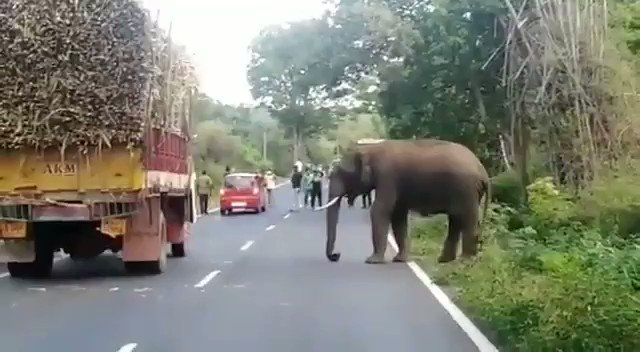 An Elephant feasted on sugarcanes for more than an hour from the lorry which was parked as it ran out of fuel in Sathyamangalam. Later , forest officials drove the elephant into the forest.