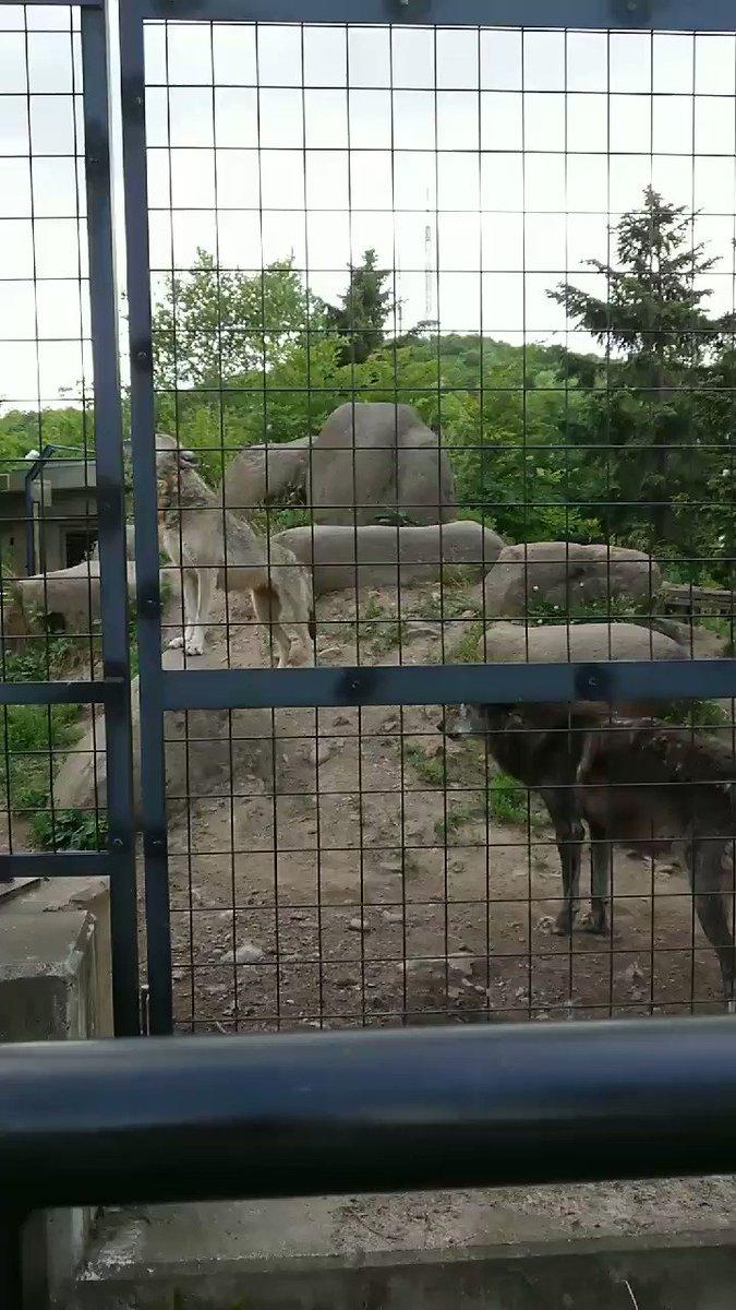 粘ってようやく聞けた狼たちの遠吠え マース(白毛)は途中で飽きてる(笑) #旭山動物園