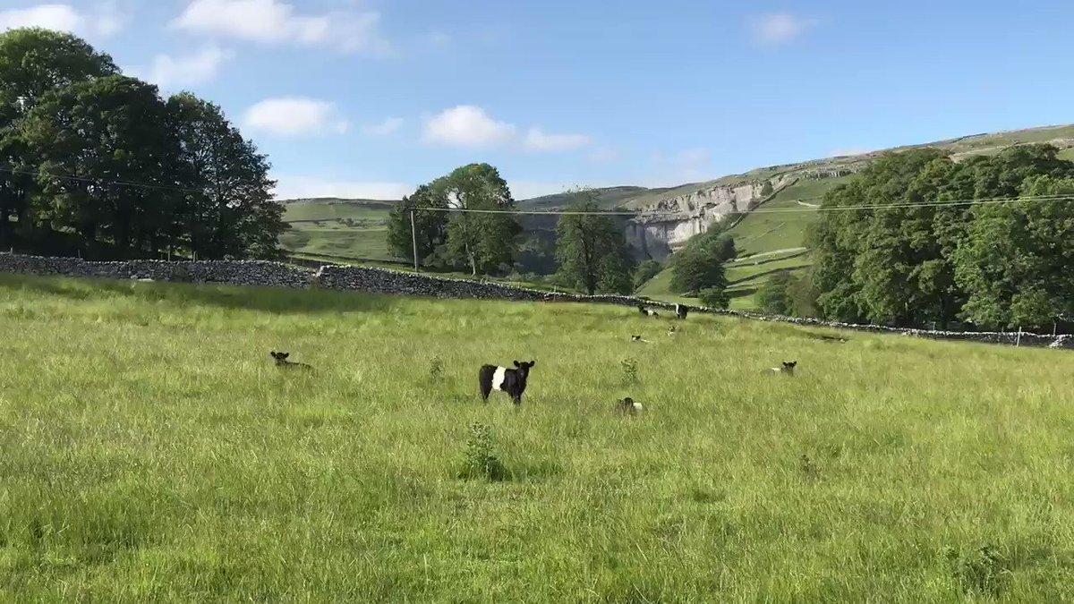 Beltie calves emerging from the grass.