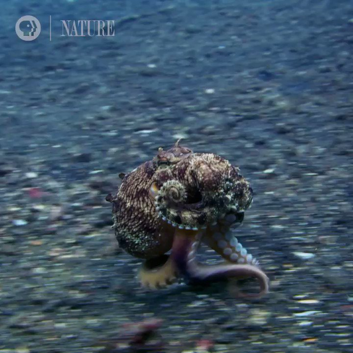 Happy #CephalopodWeek! Stay tuned for our octopus film, coming soon... 🐙#NaturePBS