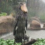 動かない鳥「ハシビロコウ」!土砂降りでも動じず仁王立ちしていてカッコいい!