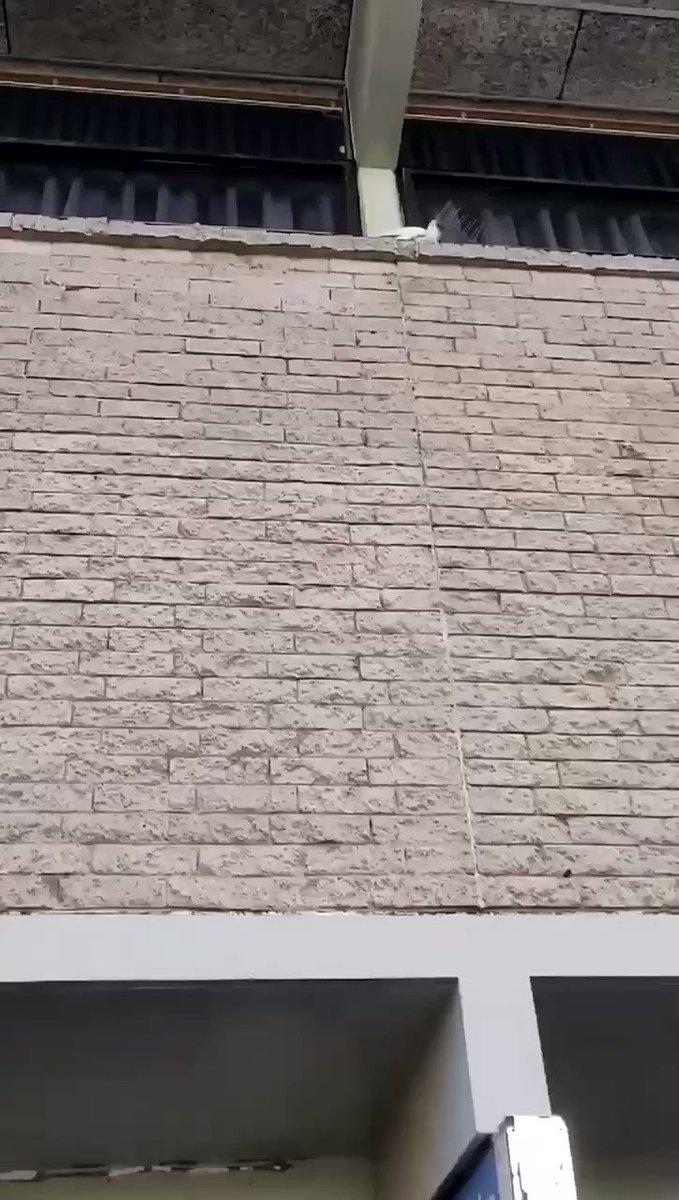 YOOOO, this cockatoo is deadass tearing down anti-bird spikes 😂😂😂  he said fuck the police