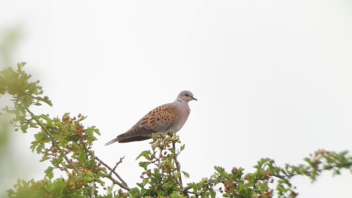 Purrr-fect sighting for #WildlifeWednesday from our #RSPBFrampton Intern @TobyWarbler. Have you seen any turtle doves this summer? If not, try visiting one of our our reserves! 🕊 👇