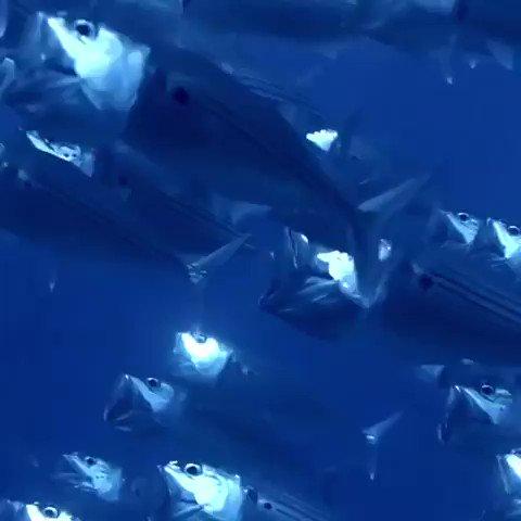 Watch this beautiful video of A flock of Indian mackerel. You will love it#ocean #nature #ThursdayThoughts #ThursdayMotivation