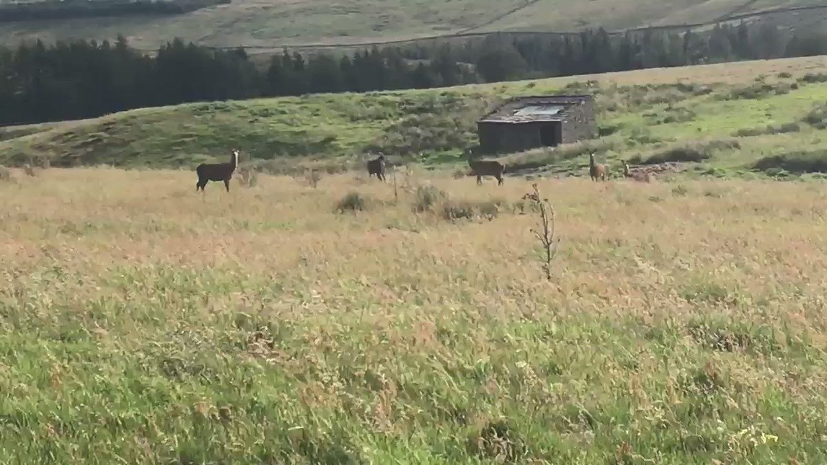 Doe, a deer, five female deer, ray, a drop of golden sun. Spotted on the tops between Malham & Settle, merrily grazing away.  Beautiful creatures, but in my ignorance I can't tell you what type of deer they are?