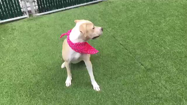 "THIS ""VERY SWEET BUT VERY SCARED"" PUPPY WILL BE KILLED TOMORROW. A ""prudent"" stray who takes awhile, then becomes playful and loving. She's 12 MONTHS OLD, DAMN IT. Beauty #67451 needs not death but our pledges via @chortletown for a Rescue, F/A PLEASE RT"