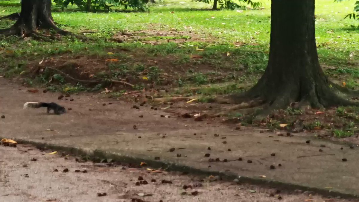 SQUIRREL SPOTTED IN BGC A squirrel was seen playing on a tree at the golf course of the Philippine Army in Bonifacio Gobal City in Taguig City on Monday. (Video courtesy of Benedict Zapata)