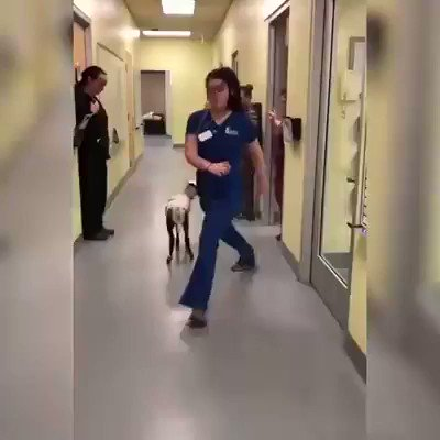 This video of a lamb dancing with her vet is the best thing you'll see all week. 🐐 💜