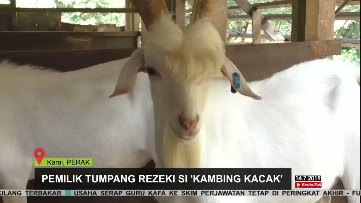 ماعز أصبح مشهور في ماليزيا بسبب وسامته وغُرته التي انسدلت على جبهته، وقد وصفوه بأنه يشبه نجوم الغناء الكوريين والمعروفين بـ K-Pop Stars