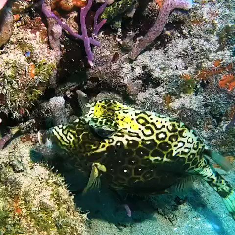 HONEYCOMB COWFISH CHANGES COLORS🖤💛💙🗯!!!! This fish has the ability to change colors See how dark the honeycomb pattern is in the beginning? Watch the fish change to a lighter color as it back up over the exposed sandy area!!! #ocean #diversity #Tue…