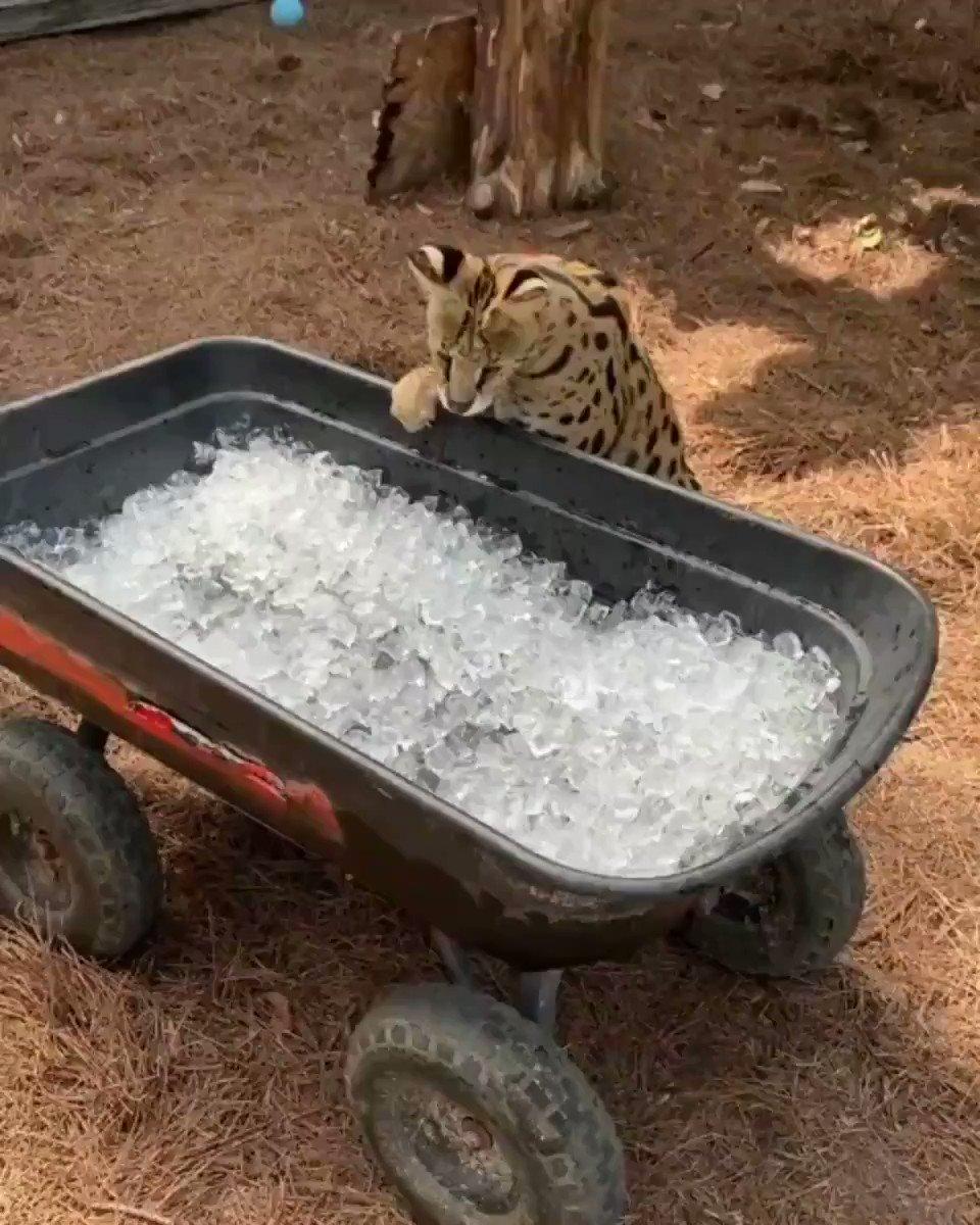 얼음에 대환장하는 큰고양이