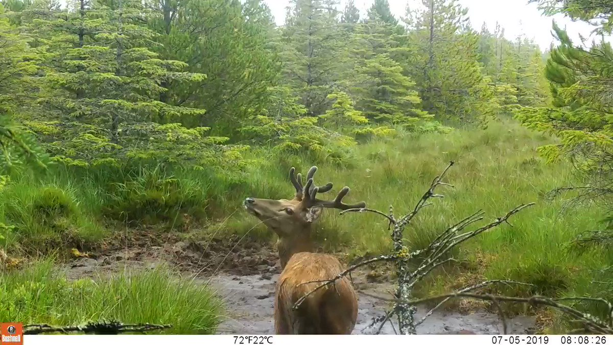 When you can't contain yourself because mud is too exciting.  #cameratrap #trailcam #bushnell #deer #wildlife #ireland