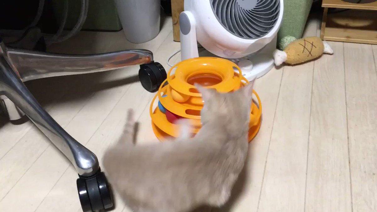 おはようございます☀ 生後126日目 ココちゃんが居なくてもみんな元気いっぱいだなぁ〜w #猫 #子猫 #成長記録 #猫のいる暮らし #猫好きさんと繫がりたい