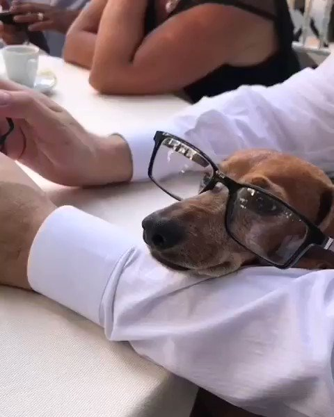 The #boss is back! #jackie #dachshund with #glasses #chairing a #meeting for a #new #project Il Costume by Giuseppina Angotzi   #costume #rome #bespoke #heritage #hautecouture #MadeInItaly #fashion #style #lovemydog #dog #doglovers #dachshundsofinstagram #intellectual #mood