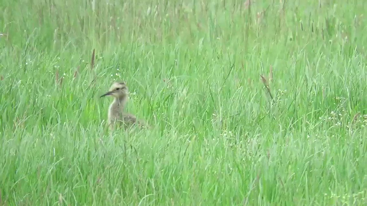Young Curlew disappears in to long grass in the Durham Dales @DurhamBirdClub @clevelandbirds @Britnatureguide