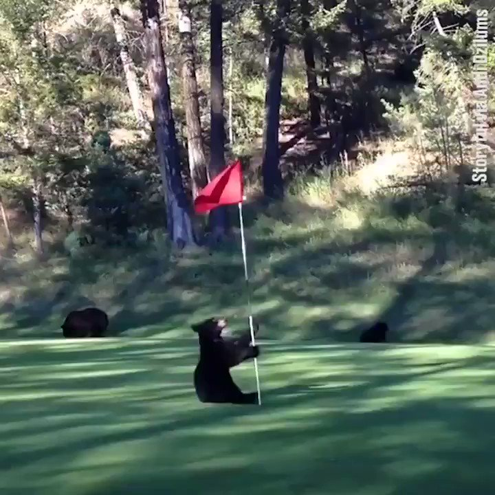 If you've already seen a baby bear dancing with the pin on a golf course today just keep on scrolling... https://t.co/B6sZ61aNRs
