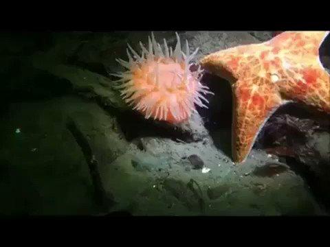 「ヒトデから逃げるイソギンチャク」おまっ、そんなに動けたんかい!ってなった。Anemone fleeing from a starfish