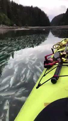 RT @siegsige: アラスカで異常気象による高温と高水温でサーモンは産卵場の湖に到着する直前で大量に死んでしまった。 彼らは最後の力を振り絞る前に力尽きてしまった。 https://t.co/aRlxCLwc54
