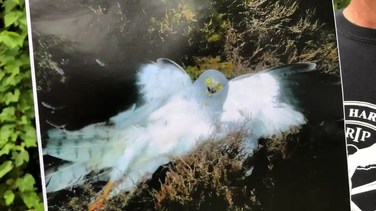 The driven grouse shooting industry is underpinned by criminals who continue to kill our beautiful birds of prey . It's time to end it . Please sign @WildJustice_org petition today https://petition.parliament.uk/petitions/266770… Thank you . RT