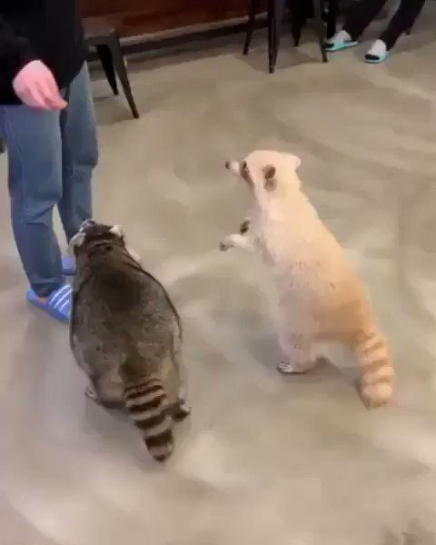 目を回すアライグマ。かわいい。TIL Trash Panda's can only spin around three times before getting dizzy