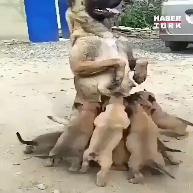 Tam sekiz tane yavru köpeği emziren Yılın Annesi.. İnsanlığı hayvanlardan öğreneceğiz..