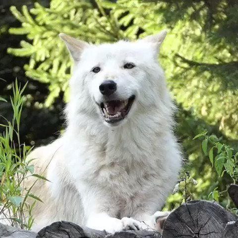 Happiness is a wolf's smile. #FridayFeeling